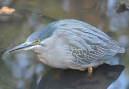 Green-backed Heron spotted at Abuko