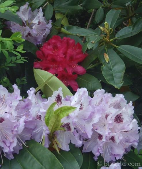 Rhododendren an der Terrasse
