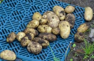 Amadine potatis