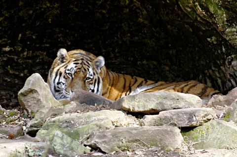 Bild: Sibirischer Tiger im Tiergarten Nürnberg.