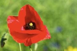 Bild: Roter Mohn an einem Junimorgen. Fotografiert mit NIKON D300S und AF-S NIKKOR 28-300 mm 1:3,5-5,6G ED VR.