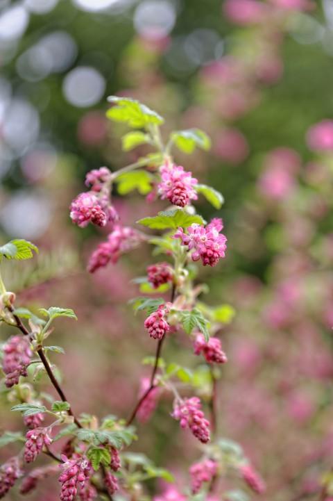 Bild: Die Wilde Johannisbeere hat heute ihre ersten Blüten geöffnet. NIKON D700 mit TAMRON SP 24-70mm F/2.8 Di VC USD. ISO 200 ¦ f/2,8 ¦ 70 mm ¦ 1/400 s ¦ kein Blitz. Klicken Sie auf das Bild um es zu vergrößern.