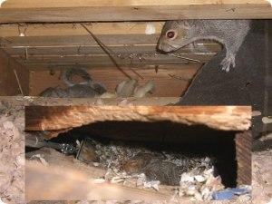 squirrel control in birmingham , squirrels in the roof birmingham , birmingham pest control