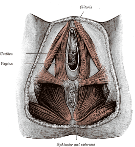 The Pelvic Floor Muscles