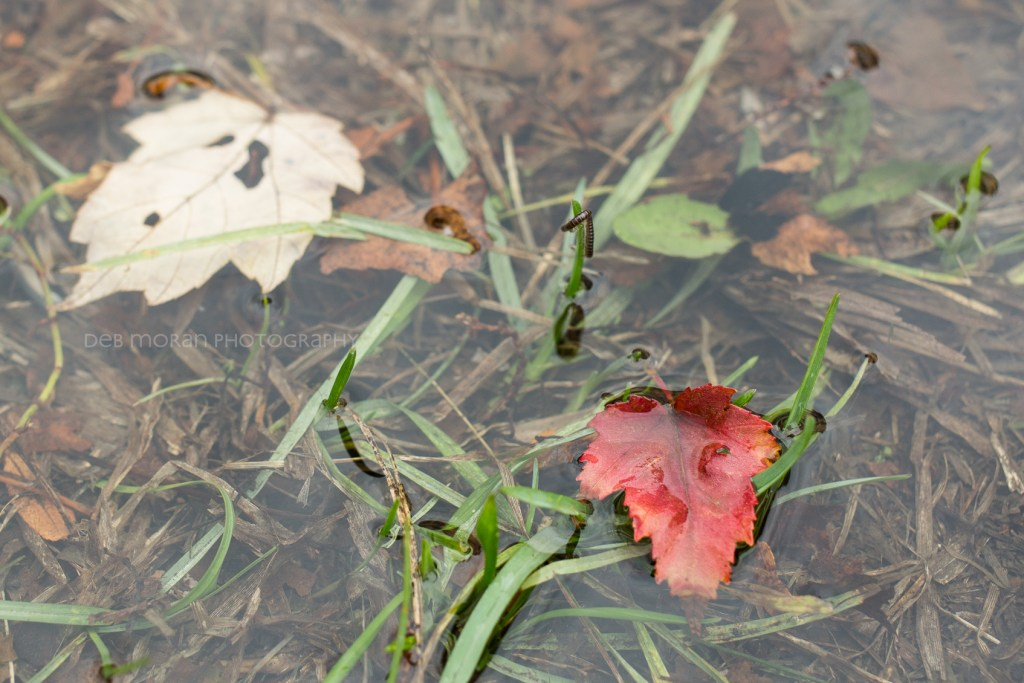 We had a massive downpour this morning. I spotted this red leaf in a puddle on my way back from the bus stop. I grabbed my camera and snapped away. It wasn't until I got it on the computer that I noticed the little centipede, clinging for dear life to a blade of duck grass.