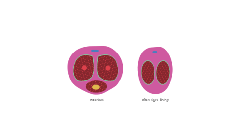 Cross section of penis and clitoris