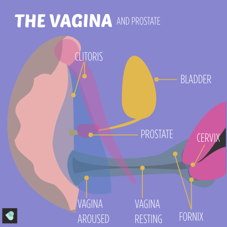Image of the vagina and prostate gland. This image shows the vagina when aroused and the vagina when resting.