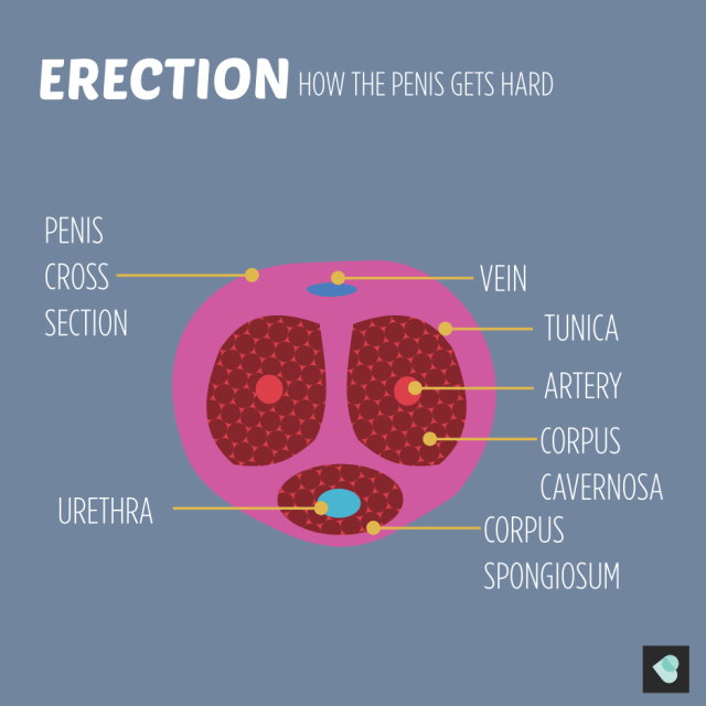 how the penis gets hard. cross section of penis