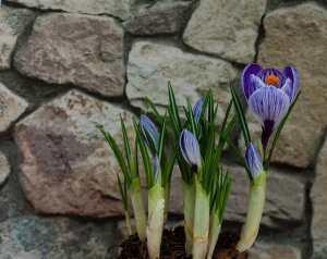 Crocus bloemen