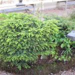 Picea_abies_nidiformis