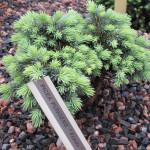 Picea_pungens_Frieda1