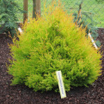 Thuja_occidentalis_Reingold