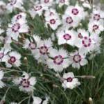 Dianthus_plumarus_marieberg