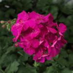 Pelargon_calliope_lavenderrose