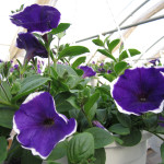 Petunia_rythm_and_blues