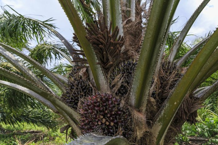 1024px Kimanis Sabah Palm oil fruits of Kimanis Estate 02