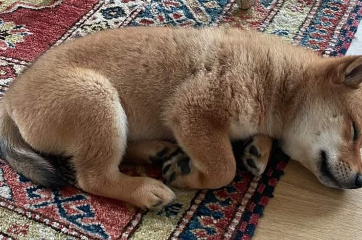 elon musks new puppy tweet sends shiba floki token soaring floki jumps more than 900 in 24 hours