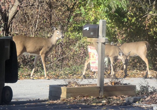 Deer 1113a