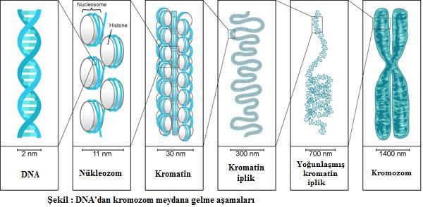 dna kromozom oluşması