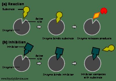 yarışmacı ve yarışmacı olmayan inhibitörler