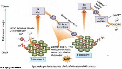 devirsel olmayan fotofosforilasyon