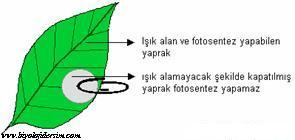 fotosentezde ışık gereklidir