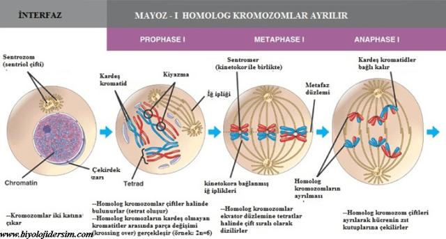 mayoz-1 şeması