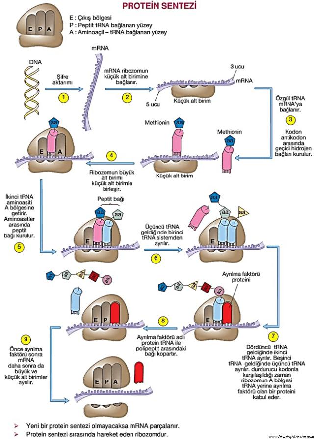 protein sentezi nasıl gerçekleşir?
