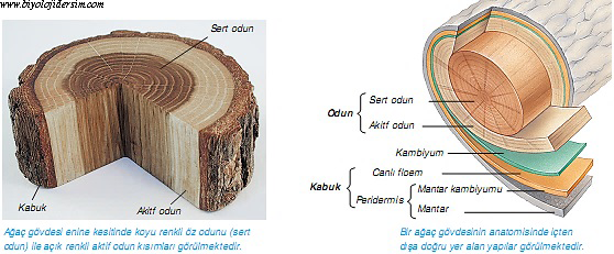 gövde yapısı ve yaş halkaları