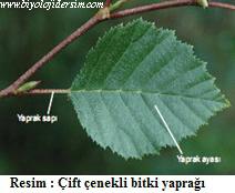 dikotil yaprak yapısı