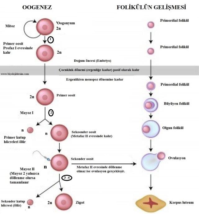 oogenez ve foliküllerin gelişimi