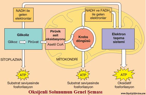 oksijenli solunum genel şeması