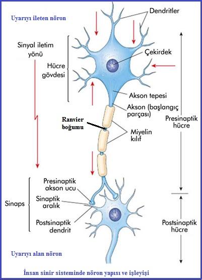 nöron yapısı
