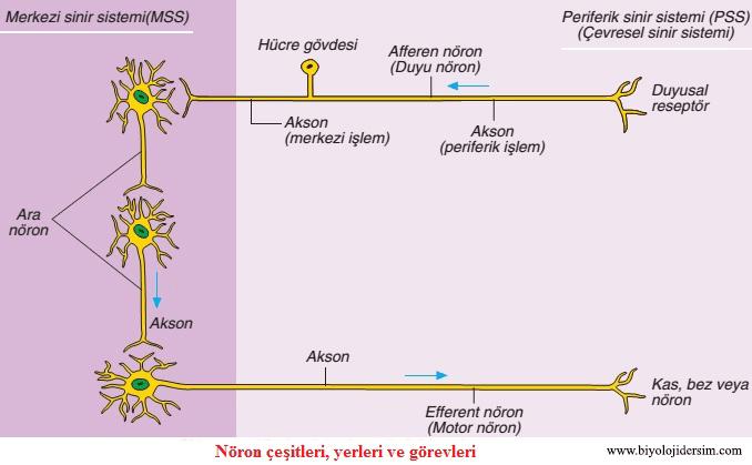 görevlerine göre nöron çeşiteri