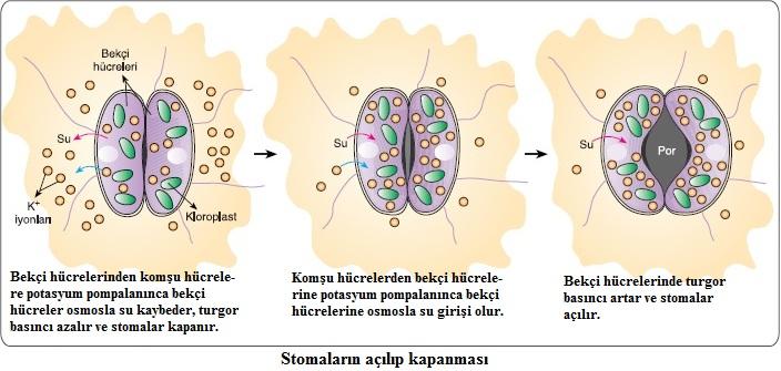 stomaların açılıp kapanma fizyolojisi
