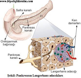 pankreas yapısı