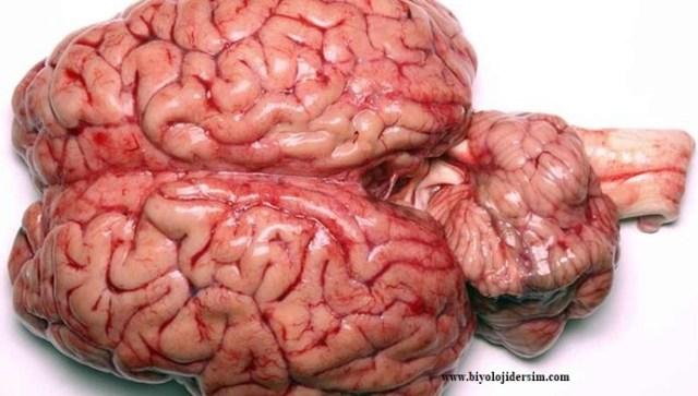 gerçek beyin