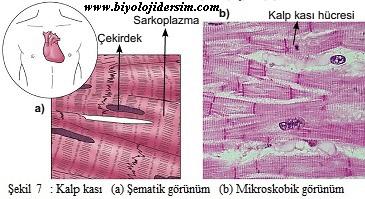 kalp kası yapısı