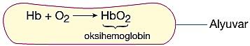 oksijen alveolde taşınması