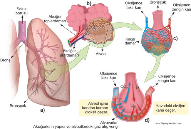 akciğer yapısı