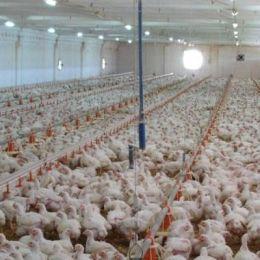 Avicola Braşov a vândut aproape 16.000 de tone de carne în 2013