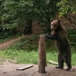 Ministerul Mediului începe numărătoarea urșilor. În luna iunie se va lua o decizie privind instituirea unor cote de recoltare