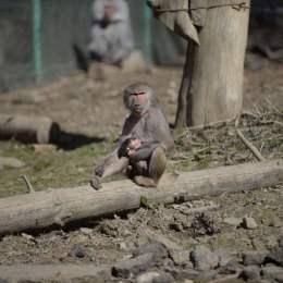 Trei noi specii de maimuțe vor ajunge la Zoo Brașov, după ce va fi finalizată noua casă a maimuțelor, în care se vor investi 2,11 milioane de lei