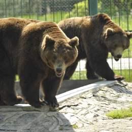 Brașovenii, invitați de Ziua Ursului la Grădina Zoologică să descopere cum va fi vremea anul acesta