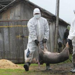 Ce măsuri au luat autoritățile pentru combaterea extinderii focarului de pestă porcină: Accesul în pădurea unde au fost găsiți cei doi mistreți a fost blocat