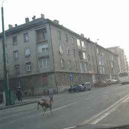 #fakenews: O căprioară aleargă ca disperata de șase ani pe Calea București. Transilvania Expres s-a prins abia acum