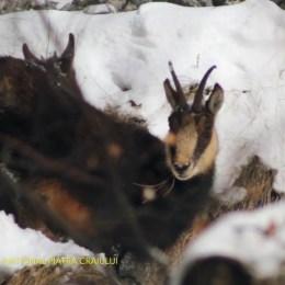 VIDEO Imagini rare cu caprele negre din Parcul Naţional Piatra Craiului