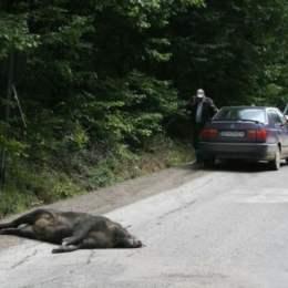 Doi mistreți, victime ale unor accidente rutiere produse în această dimineață, la intrarea în Predeal