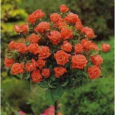 Afacere parfumată. Importuri de trandafiri în valoare de 17 milioane de euro