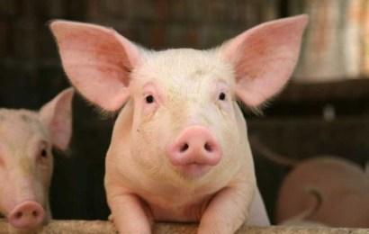 Câte focare de pestă porcină mai sunt în Gorj?!